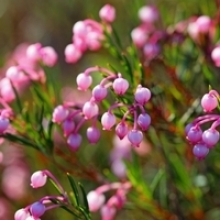 5 Shrubs that Rarely Need Pruning