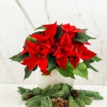 Keep a Poinsettia Looking Good Longer