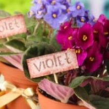 Care Tips for African Violets