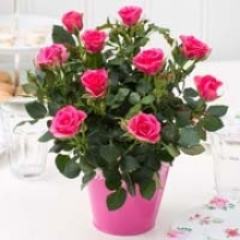 Care Tips for Fabulous Miniature Roses