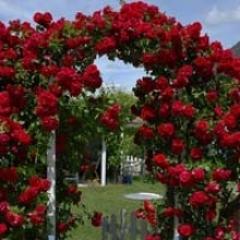 Tips for Planting Roses