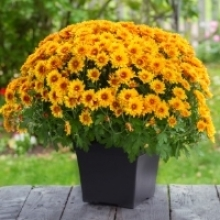 Get the Most Out of Potted Mums