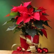 Holiday Poinsettias and Their Family
