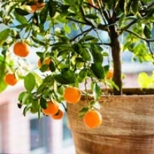 Secrets to Growing Citrus in Pots