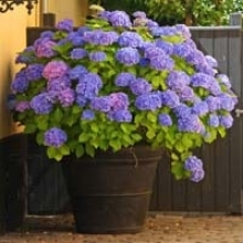 Get to Know Hydrangeas