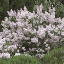 10 Shrubs That Smell as Good as They Look