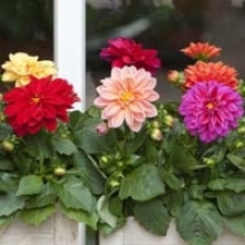 Get to Know Dahlias