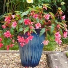 Get to Know Begonias