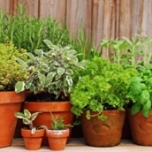 Choosing Container Garden Herbs