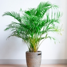 5 Tips for Growing Palms Indoors