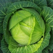 Introduction to Growing Cabbage
