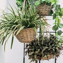 7 Houseplants for Hanging Planters