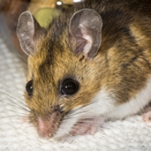 How to Repel Mice with Natural Herb Sachets