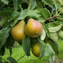 5 Tips for Fertilizing Fruit Trees