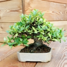 How to Care for a New Bonsai Tree