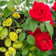 8 Common Rose Problems—And How to Fix Them