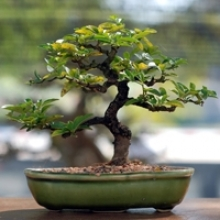 Spring and Summer Bonsai Tree Care