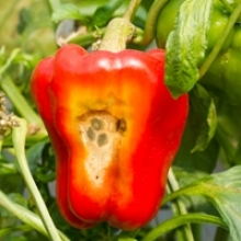 5 Common Pepper Problems and How to Fix Them