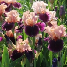 How to Divide Bearded Iris