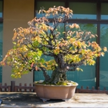 Fall and Winter Bonsai Tree Care