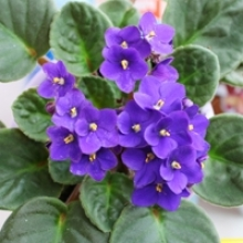How to Root African Violets