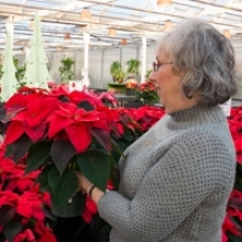 How to Select a Poinsettia
