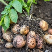 7 Tips for Growing Exquisite Potatoes
