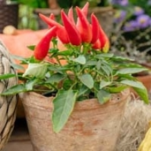 How to Grow Peppers in Pots